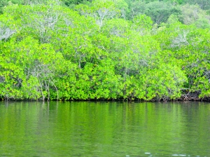 The rich, unspoiled mangrove forest that surrounds and connects Great Goat Island and Little Goat Island. (My photo)
