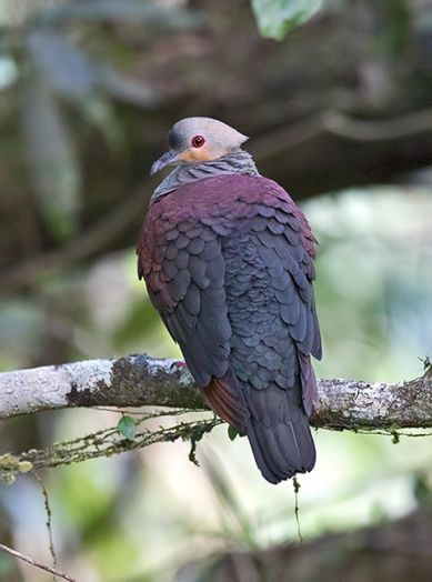 The beautiful Crested Quail Dove is found only in Jamaica (it's one of the 29 endemic bird species). It is a shy bird and if you are lucky you can spot it in the Blue Mountains, Cockpit Country and perhaps the John Crow Mountains. Like many other Caribbean birds, its numbers are being affected by loss of habitat. (Photo: Sam Woods/Facebook)