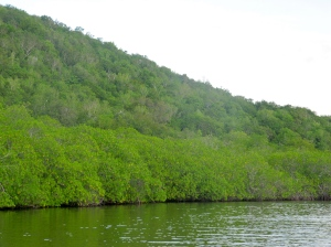 The dry limestone forest, fringed by mangrove, at Great Goat Island. (My photo)