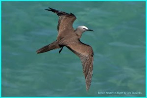 A Brown Noddy in flight. (Photo: Ted Eubanks)