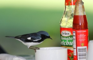 """Bird photos can be intriguing! Here's a Black-Throated Blue Warbler (a winter visitor to Jamaica, """"Setophaga caerulescens"""") feeding on granulated unrefined sugar left out on a table in Kingston. (Photograph by Gary R. Graves)."""