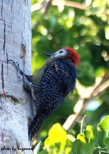 The colorful and often noisy Jamaican Woodpecker is a common and widespread endemic species.