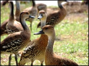 These elegant birds are West Indian Whistling Ducks. They can be found only in the Caribbean region, and are threatened by extensive hunting in the past, and by habitat destruction - especially wetlands. (Photo: Wikimedia Commons)