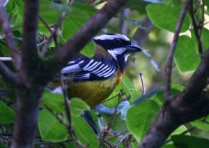 The brilliant and beautiful Jamaican Spindalis, another endemic bird, peeping through thick foliage in the Blue Mountains. You often have to look closely to find the bird you are looking for. (Photo: John Hopkins)