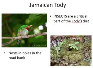 "A slide from conservationist Wendy Lee's presentation on the birds of Stewart Town, Trelawny. When a film clip showed Jamaican Todys popping in and out of their burrow, a little girl nudged her father excitedly. ""I didn't know they lived in holes!"" she exclaimed."