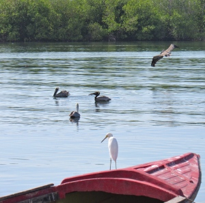 An egret meditates, while Brown Pelicans ponder their next move at Old Harbour Bay. Beyond the mangroves in the background are Goat Islands, which are still threatened by the development of a mega shipping port.