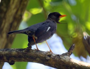 "Jamaica is a ""biodiversity hotspot"" in the Caribbean. This is the White-chinned Thrush (known locally as Hopping Dick), one of the 29 endemic species of birds on the island."