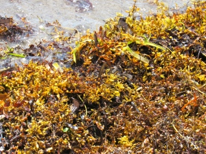 Sargassum seaweed: the scourge of Caribbean beaches.