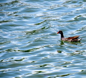 A Common Gallinule on Salt River.