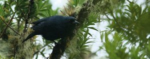 """The Jamaican Blackbird, which lives in the Blue and John Crow Mountains, is endemic to Jamaica and its status is endangered (largely due to habitat destruction and disturbance). It is not to be confused with the very common (and noisy) """"black bird,"""" which is the Greater Antillean Grackle or """"Cling Cling."""" (Photo: Paul Jones)"""