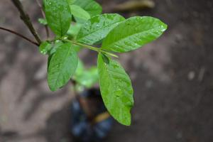 A guava seedling at the Forestry Department. (Photo: Twitter)