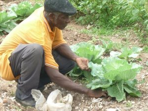 """Farming Inna Di City"" is reaping results in Jones Town, Kingston. (Photo: Jamaica Baptist"
