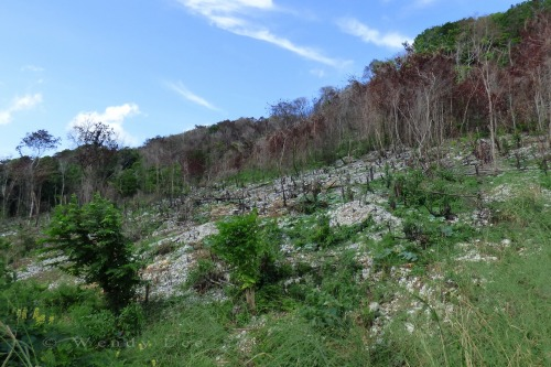 A burned hillside in St. Ann. (Photo: Wendy Lee)