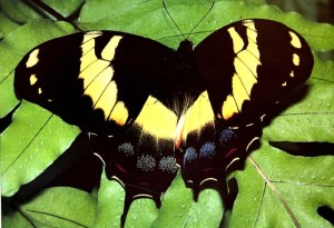 The Jamaican Giant Swallowtail is the largest swallowtail in the western hemisphere. (Photo: swallowtails.net)