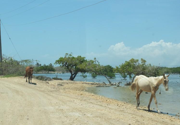 jamaican horses