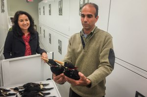 Ornithologist Nils Navarro examines study skins of the possibly extinct Ivory-billed Woodpecker with BirdsCaribbean President Lisa Sorenson at the Harvard Museum of Comparative Zoology, Cambridge, Massachusetts, October 2015. Nils was visiting the U.S. for a book tour of his newly-published Endemic Birds of Cuba Field Guide. (Photo: BirdsCaribbean)