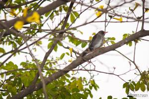 """The """"Hopping Dick"""" (White-chinned Thrush) was hopping along this branch. (Photo: Kahlil Francis)"""