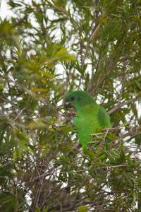 It was a thrill to see the quite unusual Black-billed Parrots. This one was very busy in the Bottle Brush tree. (Photo: Kahlil Francis)