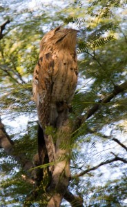 The Northern Potoo, looking very aloof. He basically pretended we weren't there. (Photo: Kahlil Francis)