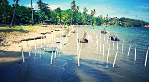 In Grenada, mangroves have been planted in PVC pipes. (Photo: Grenada Fund for Conservation Inc).
