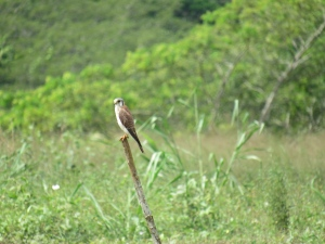 The Cockpit Country is a precious natural resource that needs our protection from the depredations of bauxite mining, at all costs. I took this photo of an American Kestrel surveying his domain, near the Martha Brae River.