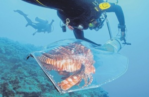"""Francesca von Habsburg is a """"hands-on"""" person. Here she is busy catching some of the predatory and invasive Lionfish. (Photo: Alligator Head Foundation)"""