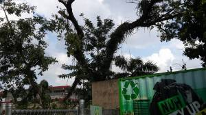 A huge guango tree in the process of being hacked down in Kingston. Note the recycling center sign in the foreground - how ironic! (Photo: Diana McCaulay/Facebook)
