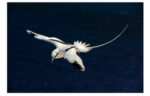 The White-tailed Tropicbird. (Photo: Fauna and Flora International)