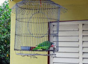 Cuban Parrot in a cage. (Photo: Jennifer Wheeler)