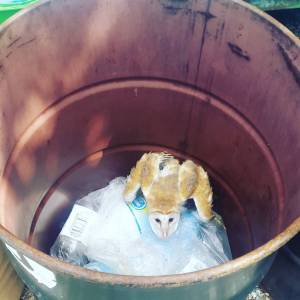 """From JET's Facebook page: """"The young barn owl trapped in one of our recycling bins this morning. We surmise that a huge guano tree which was cut down by Queen's High recently was probably its home. When the tree was being cut, two juvenile owls had to be rescued by @nepajm. Without the tree the owls have lost their habitat. This one has now ended up getting itself into trouble. We expressed our strong objection to the removal of the tree at the time it was being cut, but we were unsuccessful in stopping the process."""""""