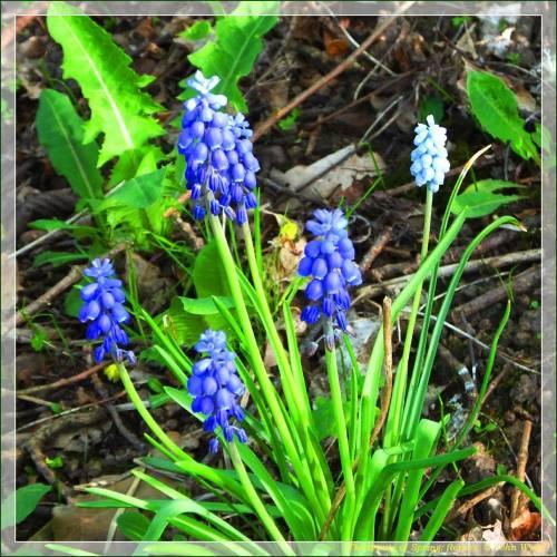 Grape hyacinths in a Swedish spring. Always a favorite of mine. (Photo courtesy of John Wyatt)