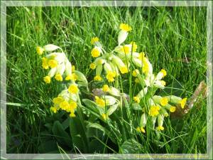 Cowslips, courtesy of my Facebook friend John Wyatt.