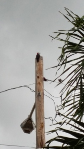 One of our Jamaican Woodpeckers on his favorite perch, a lamp post. To his right, a Northern Mockingbird is hoping to evict him. (My photo)