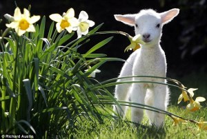 "The cute little lambs of a European spring. Or as my father used to say: ""Delicious with mint sauce""!"