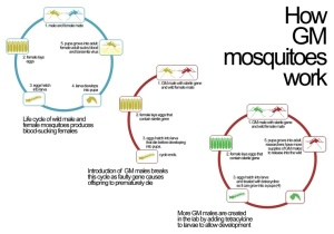 How GM mosquitoes work.