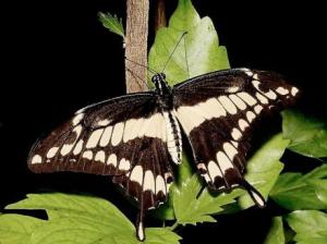 The Giant Swallowtail Butterfly (Papilio homerus) is endemic to Jamaica.