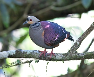 If you're lucky, you may see the Crested Quail-Dove, or Mountain Witch, along the mountain road from Newcastle to the Gap Cafe. This photo was taken by Sam Woods, a member of BirdsCaribbean, during last year's International Conference in Kingston.