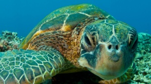 The Green Turtle is protected by law in Jamaica, as are all other turtles: Hawksbill, Atlantic Kemps Ridley and Leatherback.
