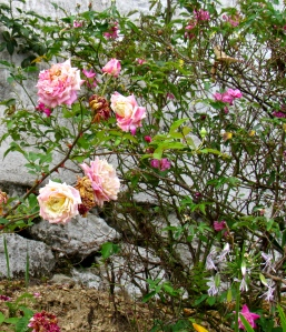 The military camp has roses. There are many flowers in the area that one cannot grow down in the hot city.