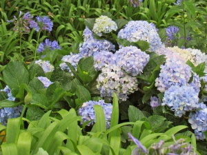 Hydrangeas in the Gap Cafe's garden.