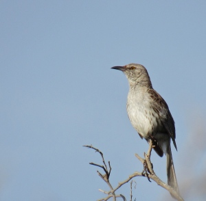 This is the Bahama Mockingbird - a beautiful bird, which lives ONLY in the Portland Bight Protected Area in Jamaica. (My photo)