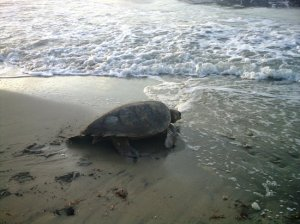 A female sea turtle returns to the sea after laying her eggs. (Photo: TripAdvisor/Oracabessa)