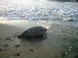 A female sea turtle returns to the sea after laying her eggs. (Photo: TripAdvisor/Oracabessa)