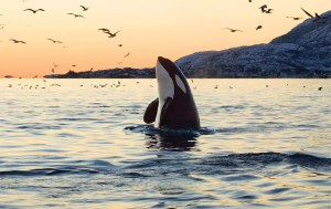 Dr. Kriss Kevorkian began to develop her theory of environmental grief after being affected by the decline of the orca population in Puget Sound in Washington State.