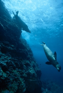 male Hawaiian monk seal, an endangered species, races after a potential mate near an undersea pinnacle at French Frigate Shoals. PHOTOGRAPH BY BILL CURTSINGER, NATIONAL GEOGRAPHIC CREATIVE