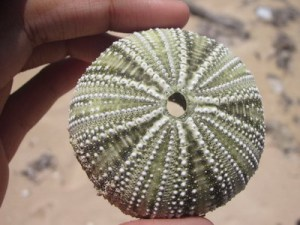 Here's a Jamaican version of a sea urchin shell, minus the spines.