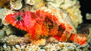 This brilliantly colored scorpionfish was found at a depth of nearly 500 feet near Curacao. It was namedScorpaenodes barrybrowni in honor of Substation Curaçao and freelance photographer Barry Brown. (Photo: Barry Brown).