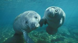 Gentle giant: West Indian Manatees are up to 13 feet long and weigh as much as 1,300 pounds. They are mammals, and they are not aggressive creatures. (Photo: National Geographic)
