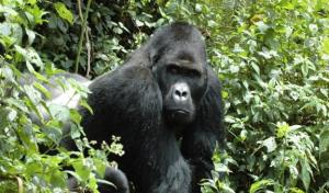 The Eastern Gorilla – the largest living primate – has been listed as Critically Endangered due to illegal hunting, according to the latest update of The IUCN Red List of Threatened Species™ released today at the IUCN World Conservation Congress taking place in Hawaiʻi. (Photo:Intu Boedhihartono)