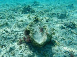 """A giant clam shell, riddled with wormholes, sits amid dead coral from """"chopper"""" boat operations. Photo: John McManus/Rosenstiel School, University of Miami"""